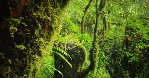 Mossy tree trunks of rain forest canopy.
