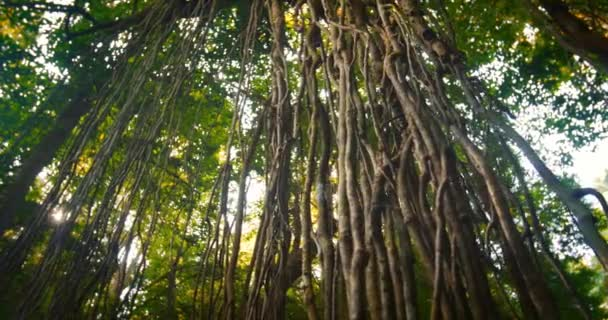 Dense tropical forest with twisted liana vines