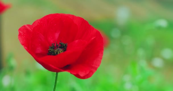red poppy flower blooming on meadow