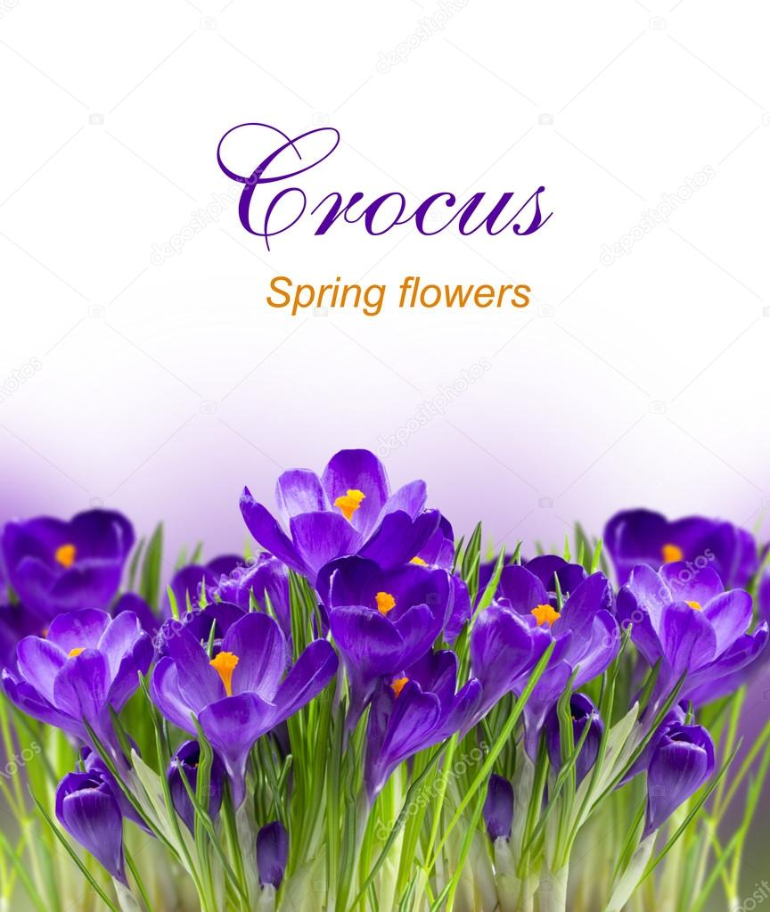 Early spring flower Crocus for Easter