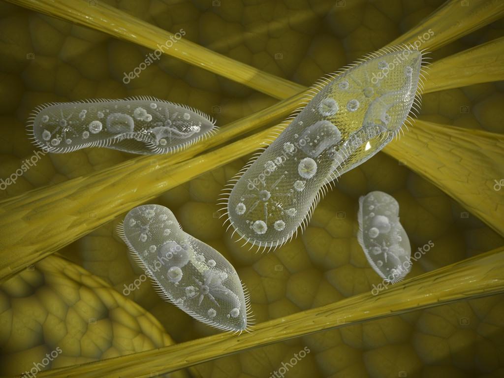 Paramecium protozoa