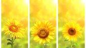 Sada bannerů s slunečnice na zeleném slunečné pozadí