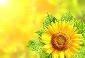Napraforgó, levelei napos háttér