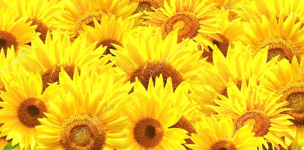 Horizontal background with bright yellow sunflowers