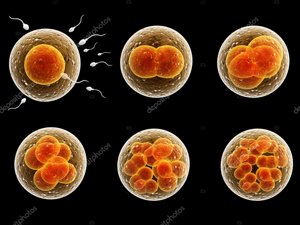 Process division of fertilized cell