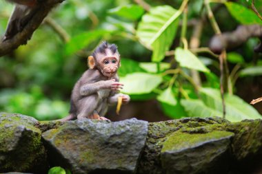 Little baby-monkey in sacred monkey forest of Ubud