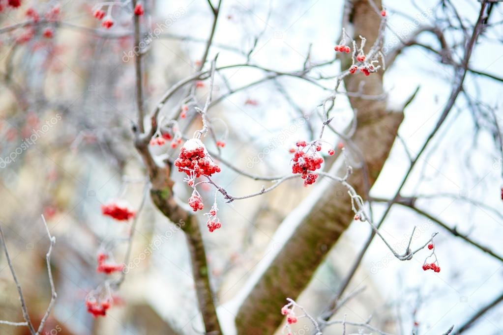 Mountain-ash berries with snow