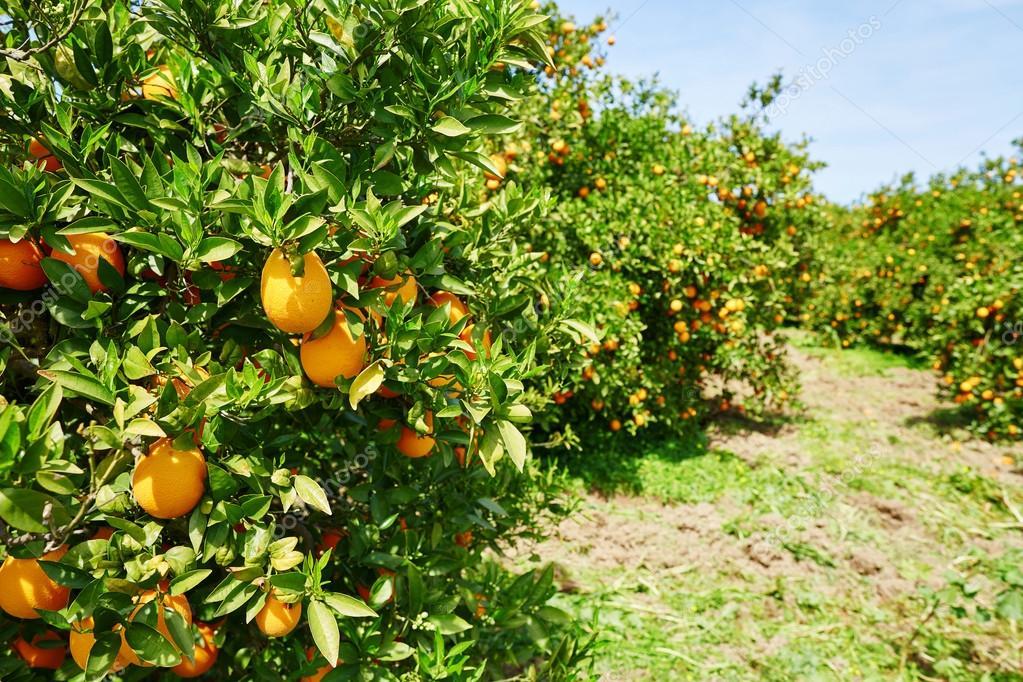 Beautiful orange grove in Northern Morocco