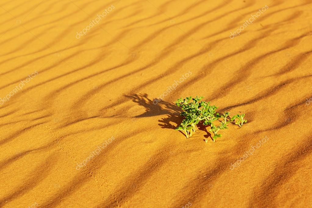 vertes qui poussent dans les dunes de sable dans le désert du