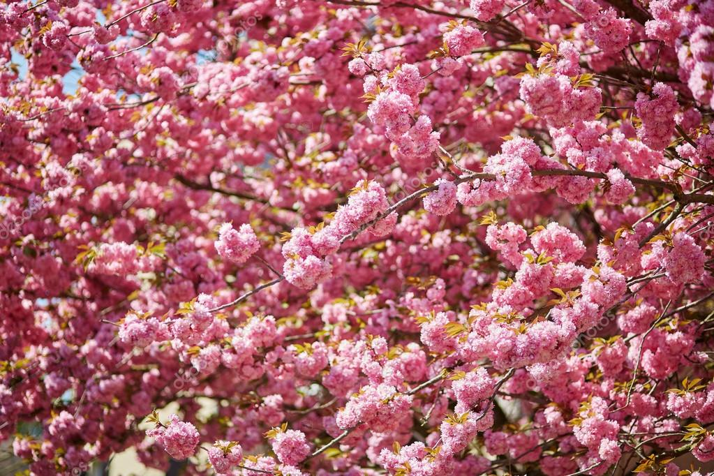 Beautiful cherry blossoms in full bloom
