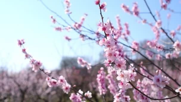 az első fák, amelyek kora tavasszal virágoznak, cseresznyefák vagy barackfák virágzanak egy városi parkban. Tavaszi virágok háttér.