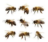 Biene auf der weißen