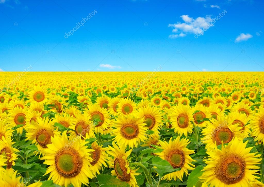 https://st2.depositphotos.com/1000459/9579/i/950/depositphotos_95798836-stock-photo-sunflowers-field-on-sky.jpg