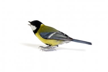 great tit isolated on white