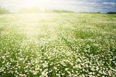 květy sedmikrásky na obloze