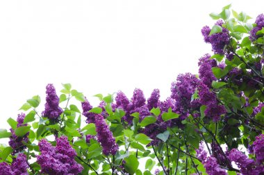lilac flowers on background