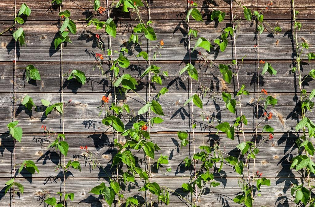 Plantas Trepadoras En El Fondo De Tablas De Madera Foto De