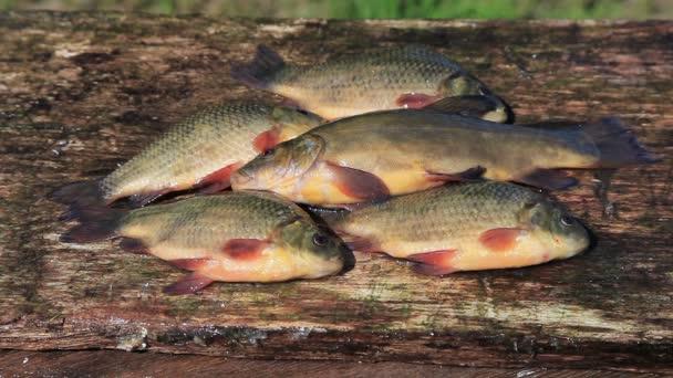 Élő édesvízi hal a ponty egy fából készült hajón