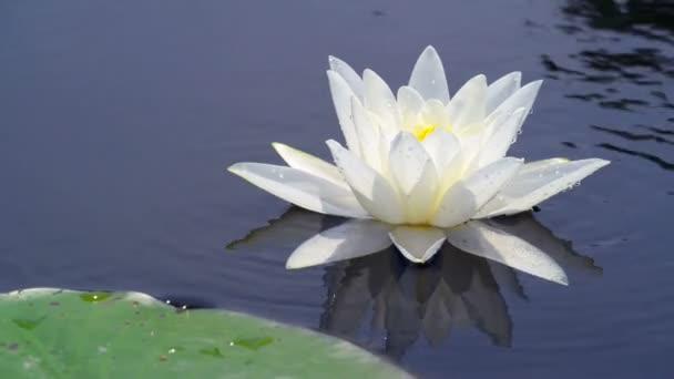 Osamělý lilie v jezeře