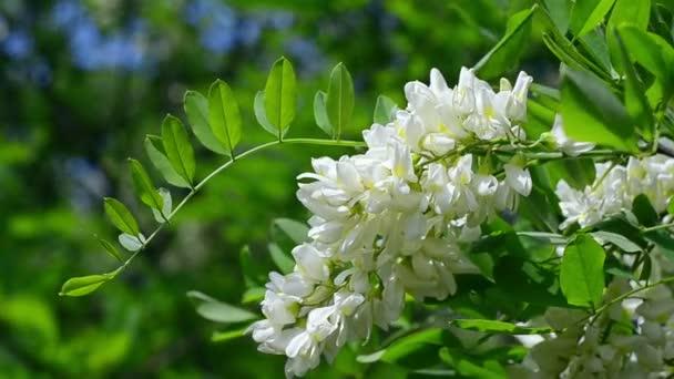 Bílé květy akátu