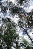 paesaggio con alberi di pino