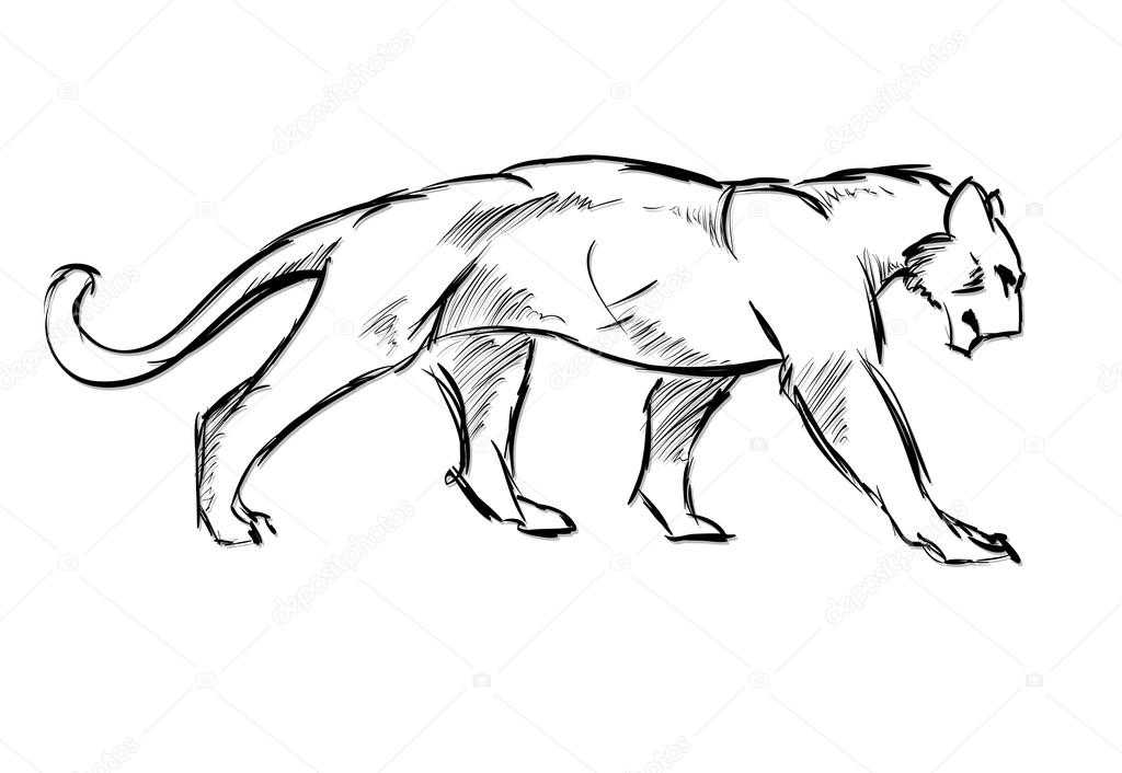 Young cougar. Wild cat. Vector sketch.