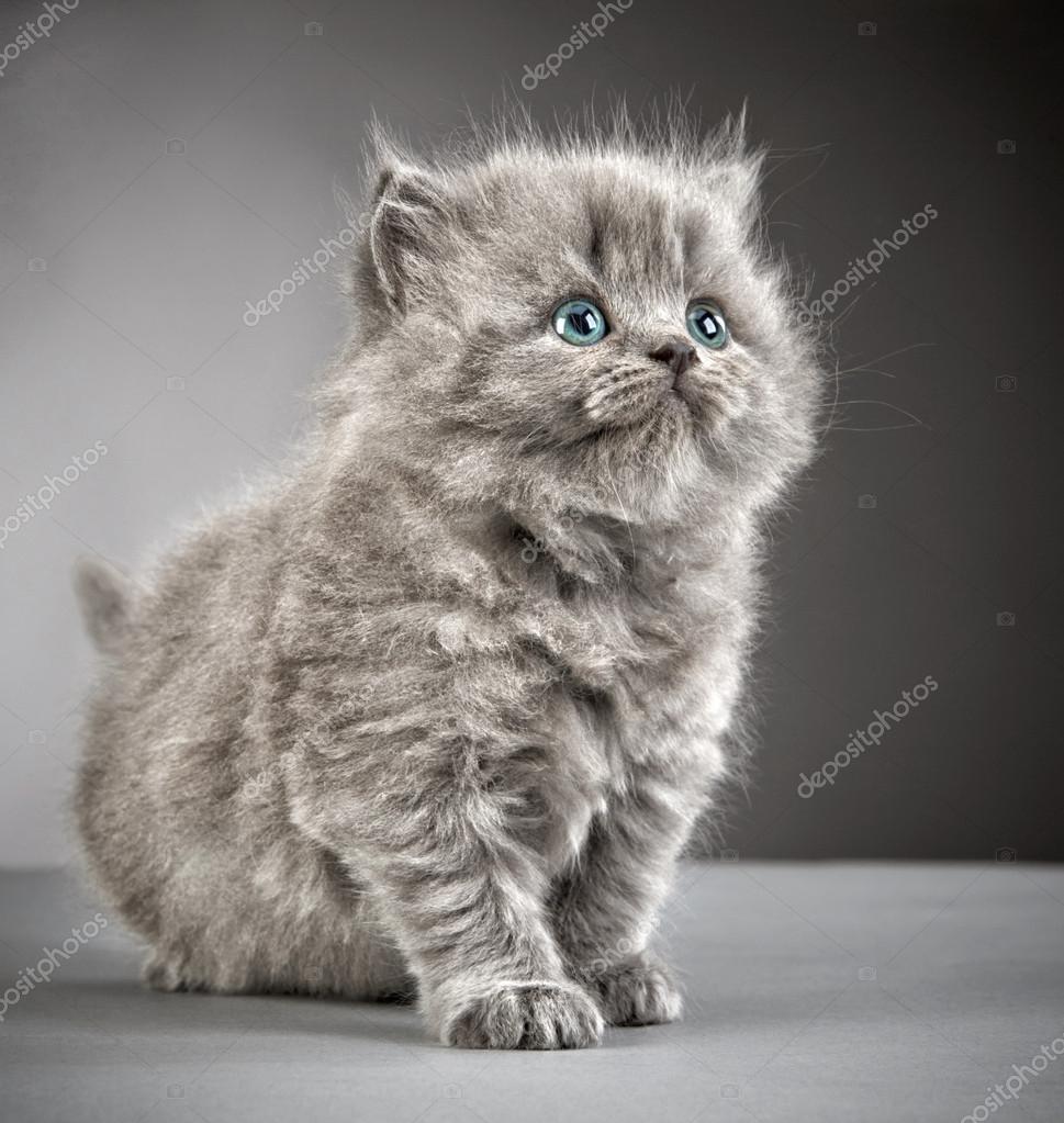 Criadero gato britanico pelo largo