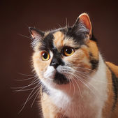 Photo portrait of british cat