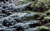 Fotografie fir branches