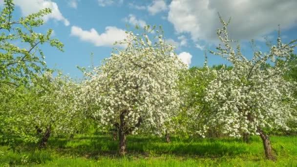 Blühenden Apfelbäumen, Panorama Zeitraffer