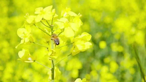 Méh és a repce virág, lassú mozgás