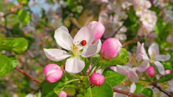 Ladybird on the apple flower