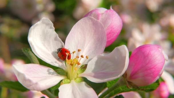 coccinella sul fiore apple