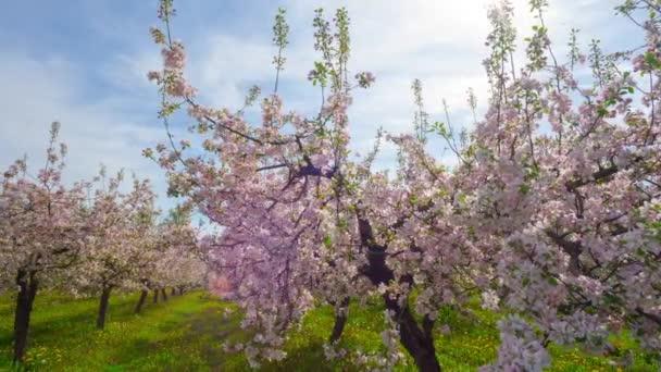 Kvetoucí jabloňový sad, časosběrné s posuvníkem