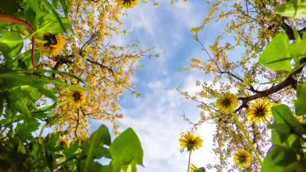 Dandelions and blossoming apple orchard, time-lapse