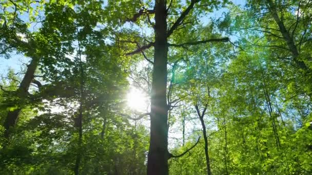 Zelený oak forest, panorama