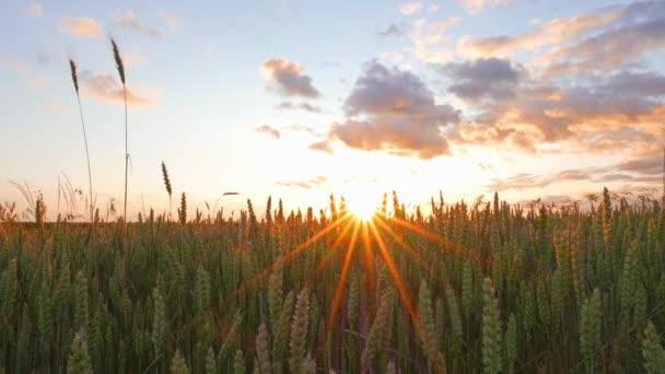 pšeničné pole a západ slunce