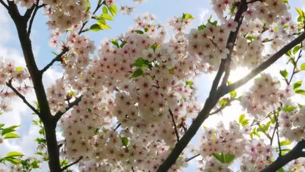 Květiny japonská Sakura