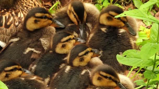matka kachna s ducklings