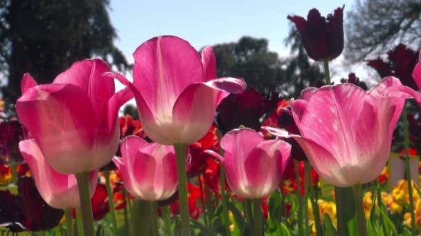 krásné barevné tulipány