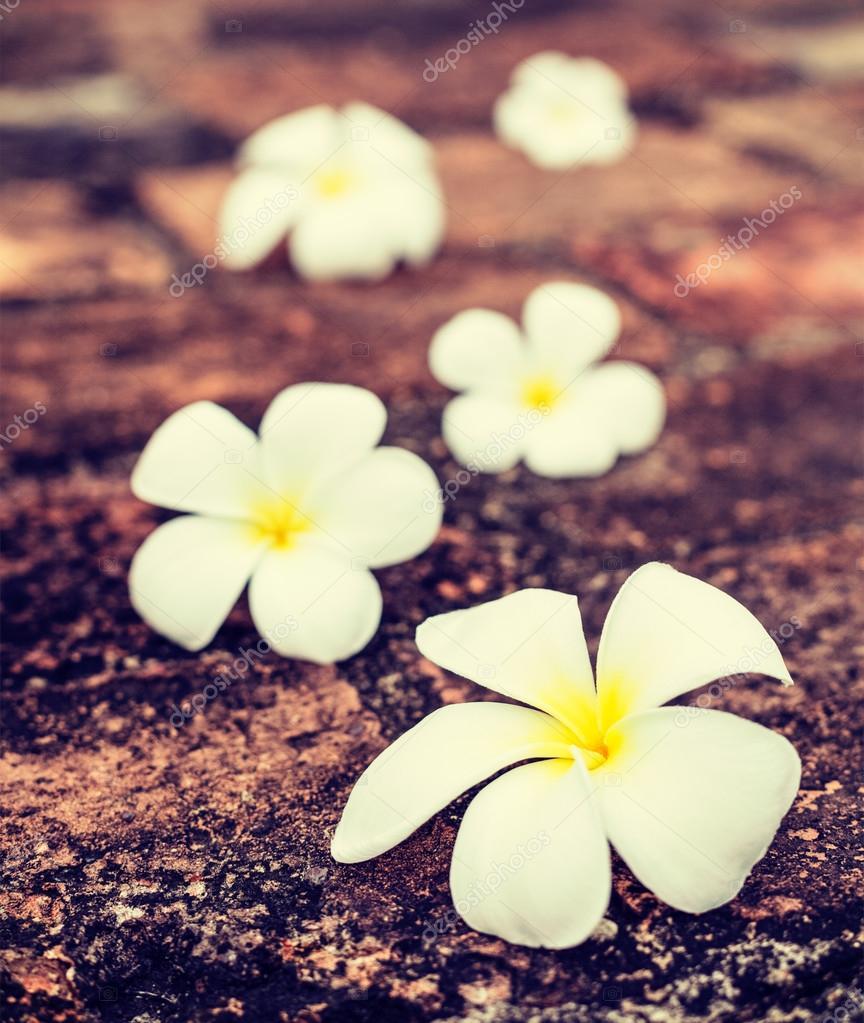 Frangipani plumeria flowers on stones