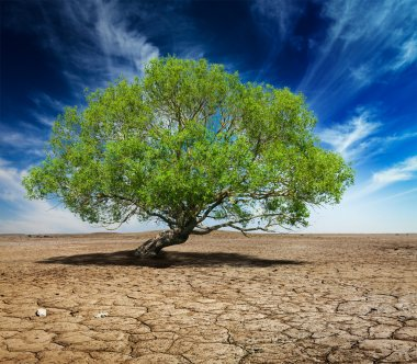 Lonely green tree on cracked earth
