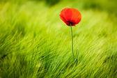 Photo Red poppy in field