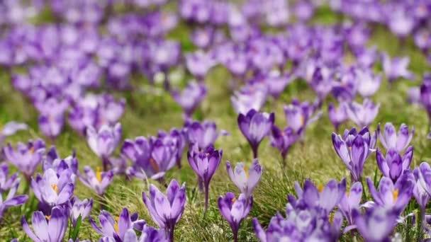 Crocus flowers field