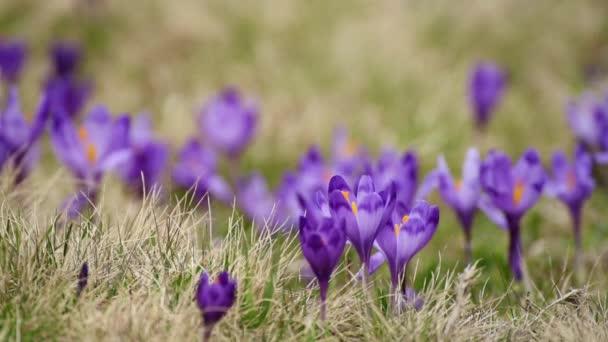 Crocus virágok mező