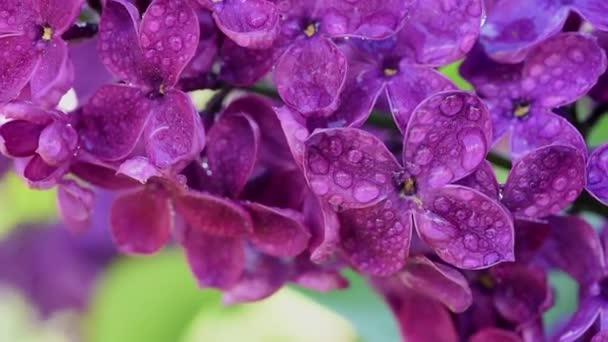 lila virágok háttér