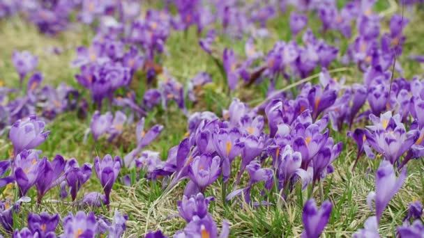 Crocus květiny pole