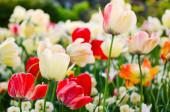 Piros és fehér tulipán virágok