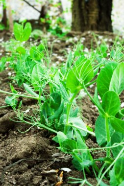 pea sprouts on the field