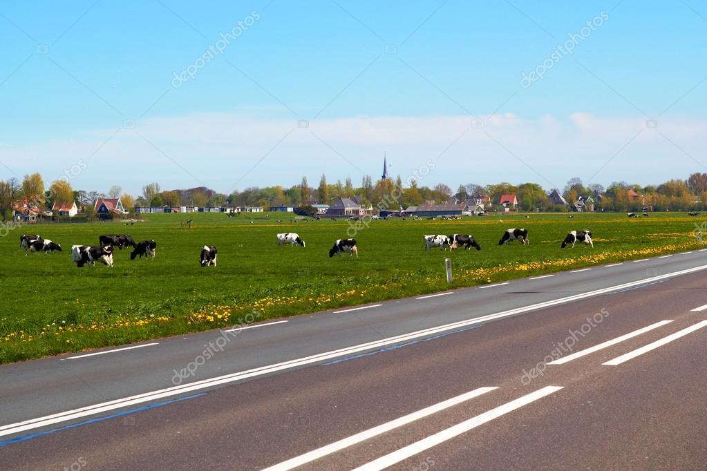 Typical dutch landscape with cows farmland and a farm house